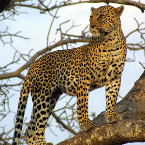 Leopard on the Lookout